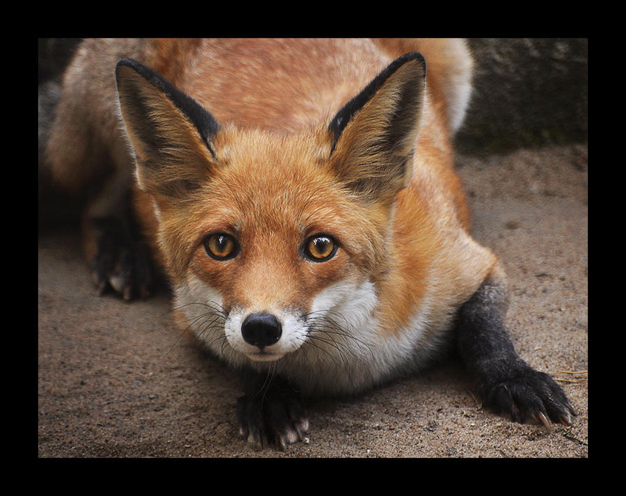 ...red fox... by canismaioris
