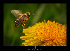 ...mr. bee... by canismaioris