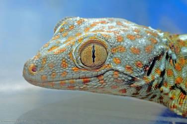 Tokay Gecko by basticelis