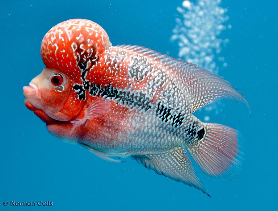 Flowerhorn Fische amp AquariumZubehör gebraucht kaufen