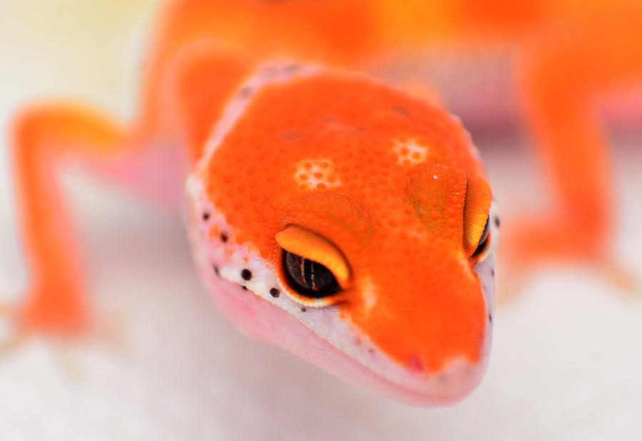 [Image: red_enigma_leopard_gecko_by_basticelis-d4yla38.jpg]