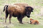 Buffalo Newborn 4