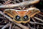Antheraea polyphemus moth 2008