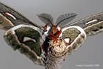 Hyalophora Cecropia Moth 01