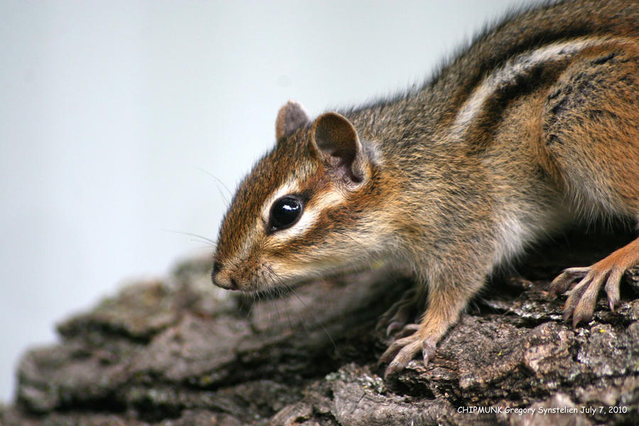 Chipmunk July 7, 2010 3 by UffdaGreg
