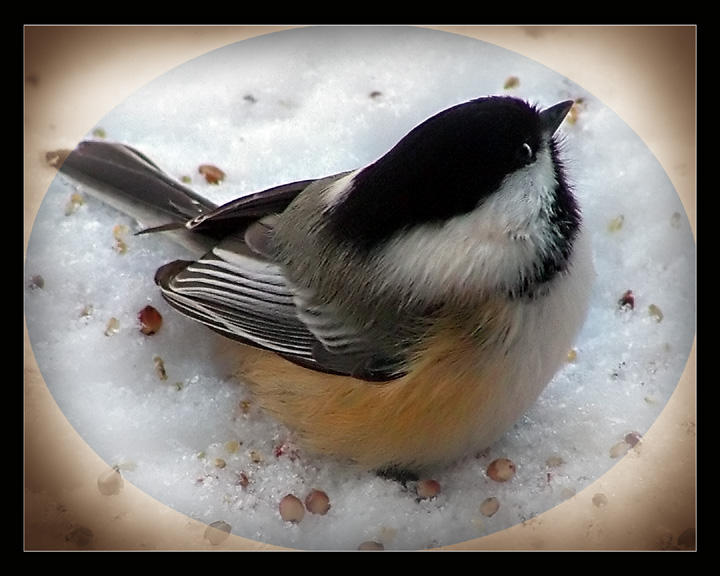 Black-capped Chickadee by UffdaGreg