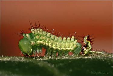 Actias Luna Caterpillar by UffdaGreg