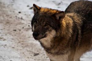 Wildpark Schwarze Berge II by RescueWolf