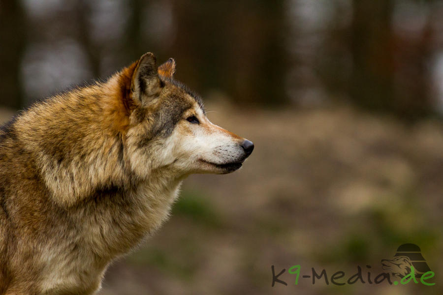 Canis Lupus by RescueWolf