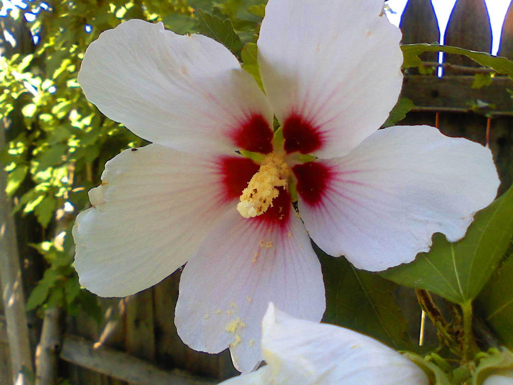 White And Red Hibiscus Flower By Dragonswingdesigns On Deviantart