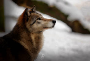 Wolf Edit 1