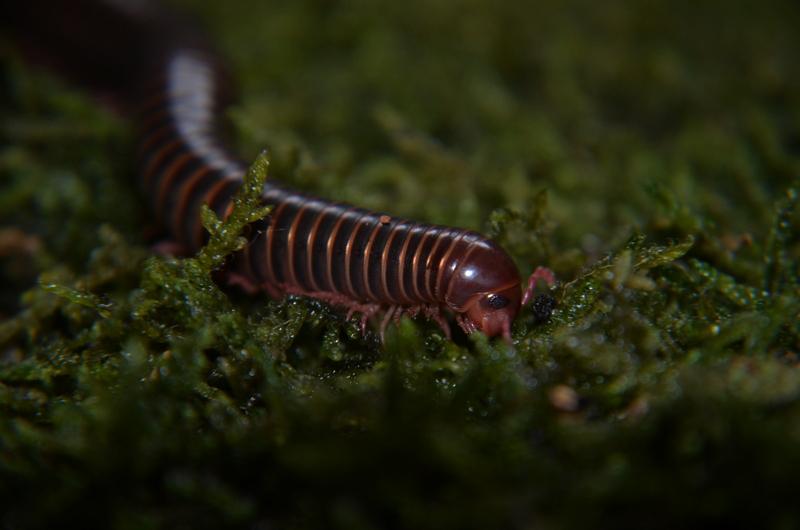 Narceus americanus by 0Dyfflin