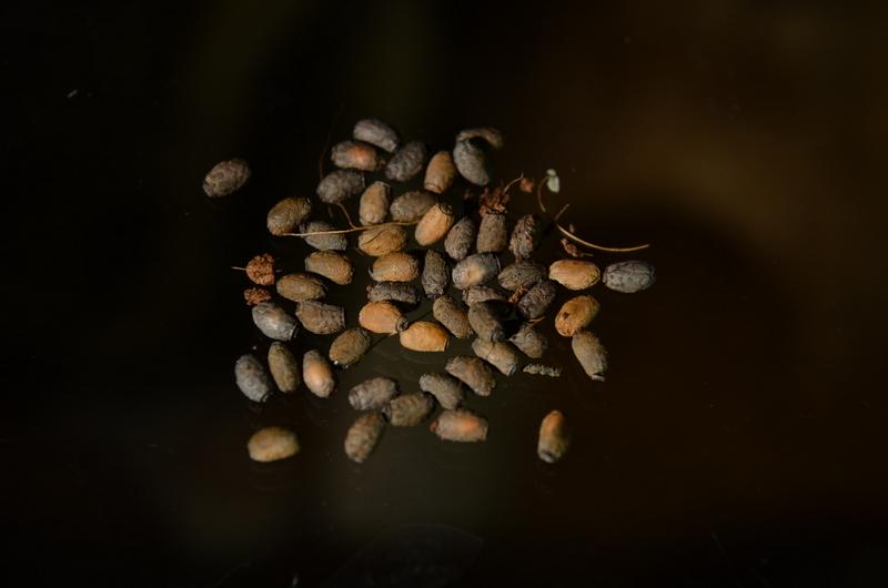Diapherodes gigantea - eggs by 0Dyfflin
