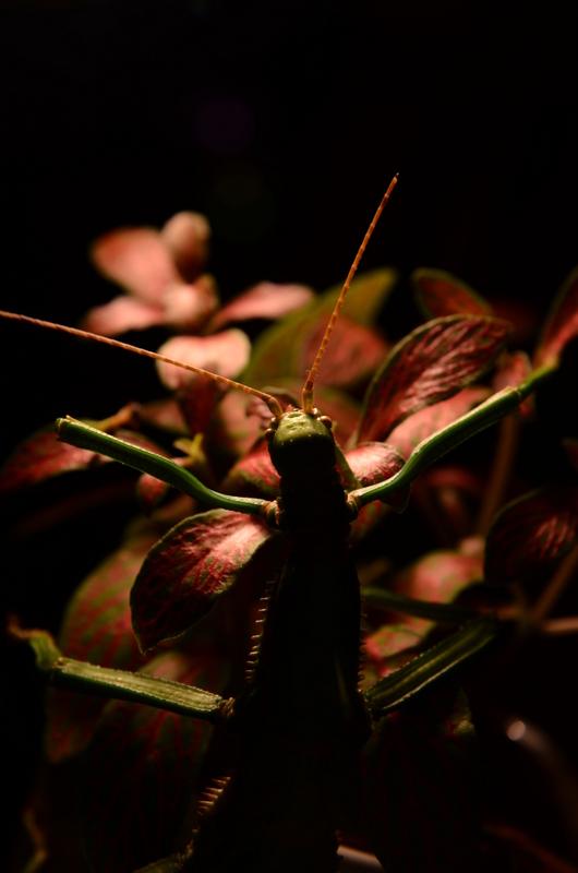 Diapherodes gigantea by 0Dyfflin