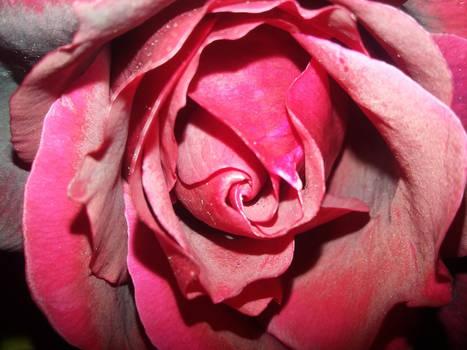 Rose Stock 02
