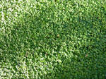 Grass (Mouse-ear)