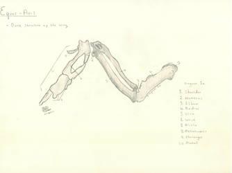 Equus-Avis: bone structure of the wing.