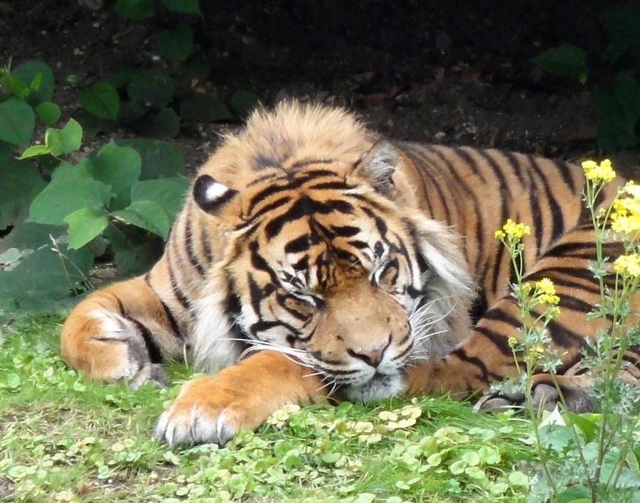 Sleeping Tiger - Timelapse - YouTube