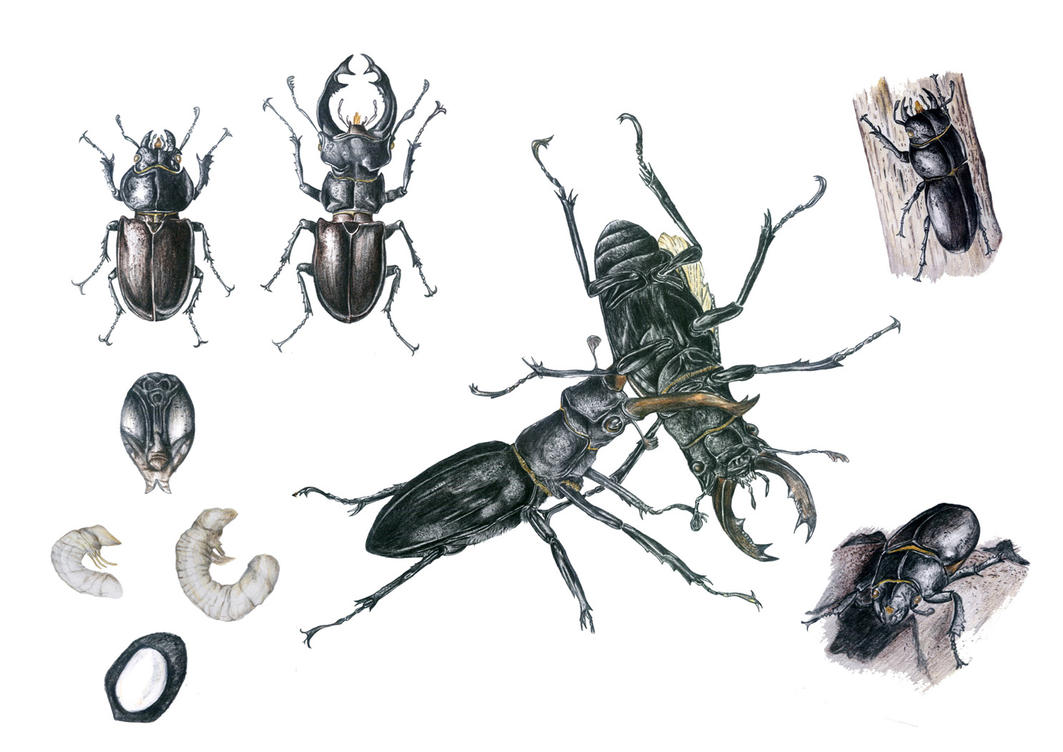 Beetles by sharonnism