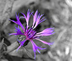 Mountain Bluet by recycledrelatives