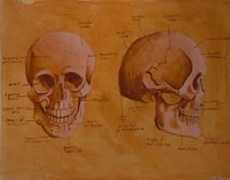 Anatomy study 1 - skull by str4yk1tt3n