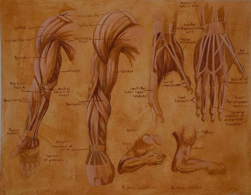 Anatomy study 2 - arm muscles by str4yk1tt3n on DeviantArt