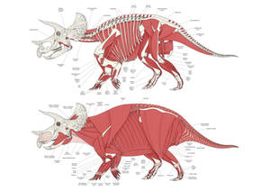 Triceratops Muscular Anatomy