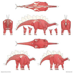 Stegosaurus Muscular Anatomy