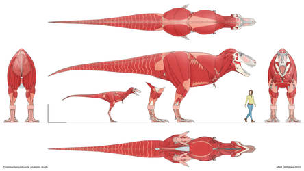 Tyrannosaurus muscle anatomy study
