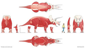 Triceratops muscle anatomy study