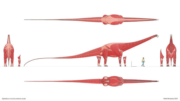 Diplodocus muscle anatomy study