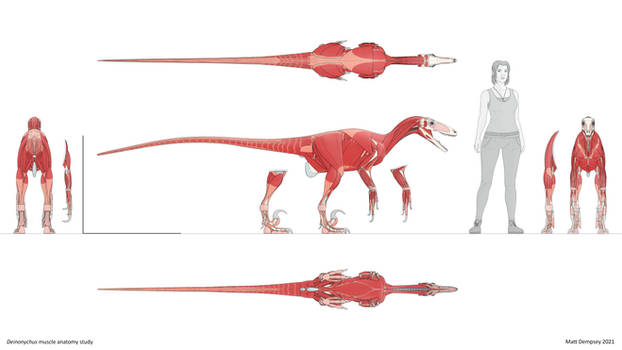 Deinonychus muscle anatomy study
