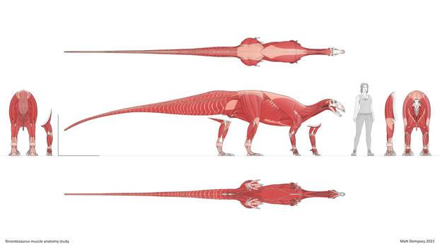 Tenontosaurus muscle anatomy study