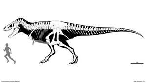 Tyrannosaurus skeletal