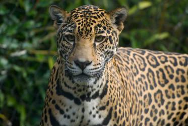 Jaguar 2 by Sealyanphoenix