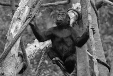 Gorilla 2 by Sealyanphoenix