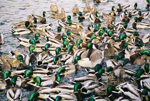 duck, duck goose by Sealyanphoenix