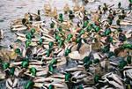 duck, duck goose