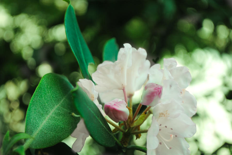 Rhododendron by lifeandwarriors