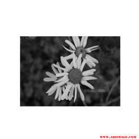 Daisy by ariimage