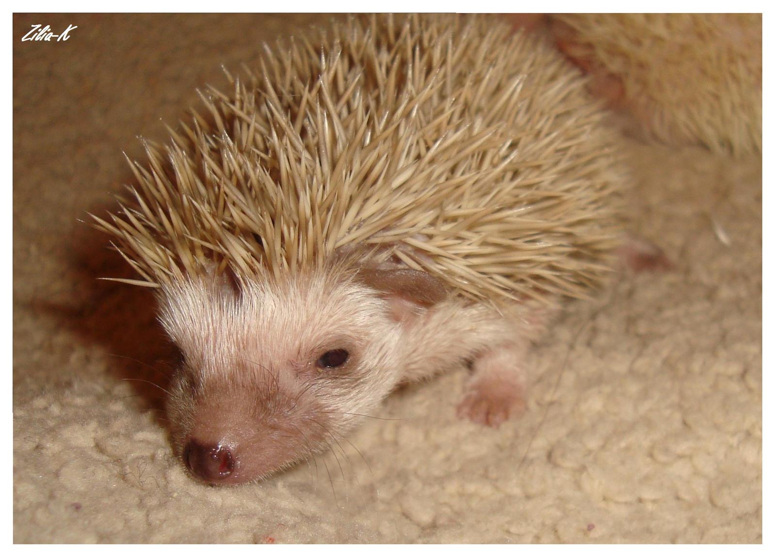 Cute hedgehog by zilia-k