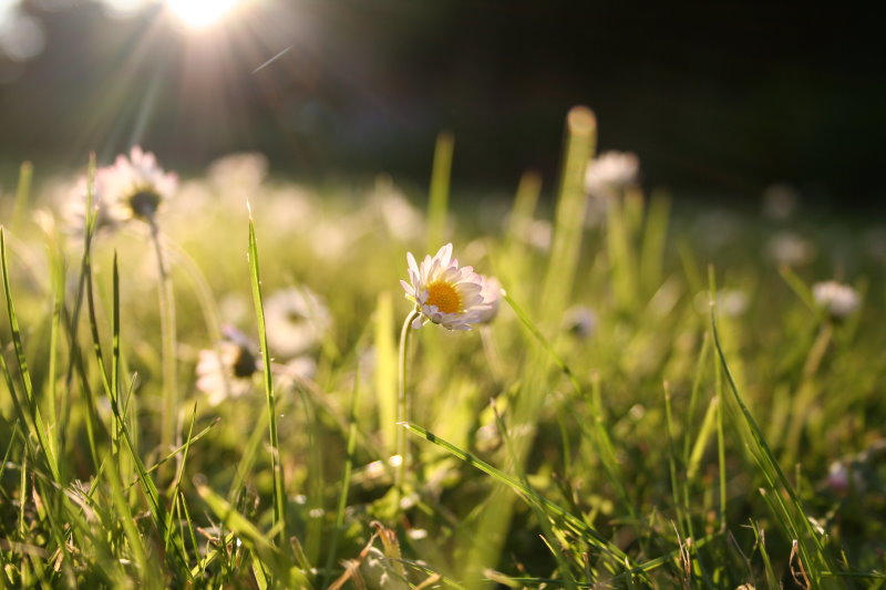 daisies by evelynzee