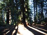 Redwood Shadows