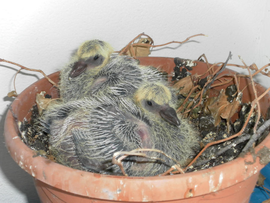 Pigeon Hatchlings on my balcony, 28.3.2012 by Tharjana on ...