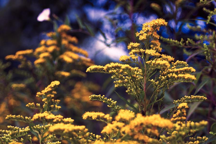 dark blue and yellow flowers by LordBurevestnik