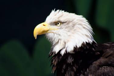 Bald Eagle 2 by jaredjonhowell