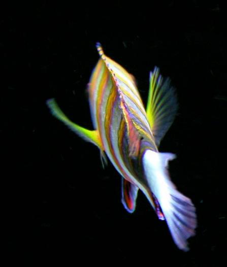 Tusk Fish