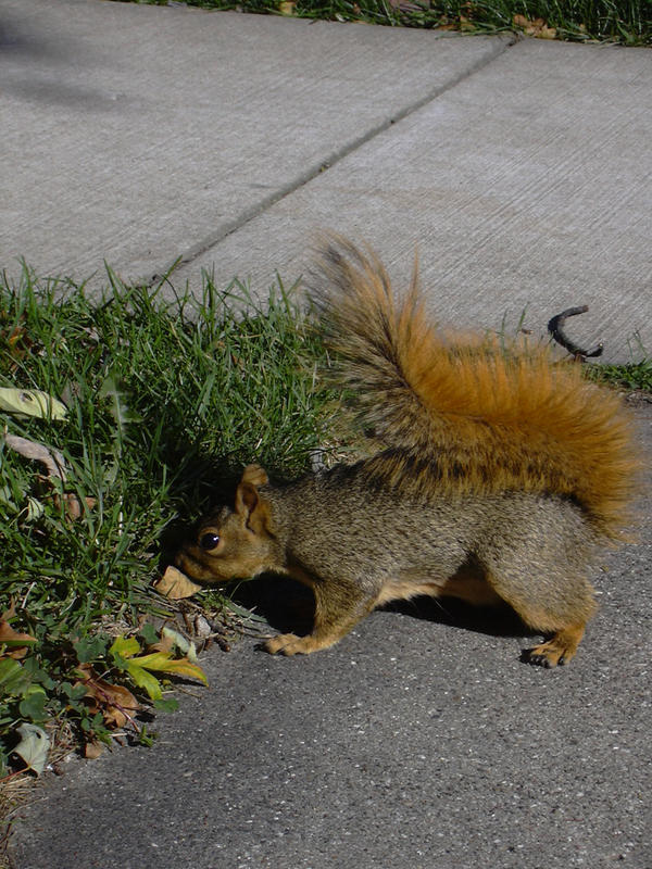 SAN07 22- Squirrel by yana-stock