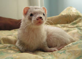 Nahum The Ferret by Yukkabelle