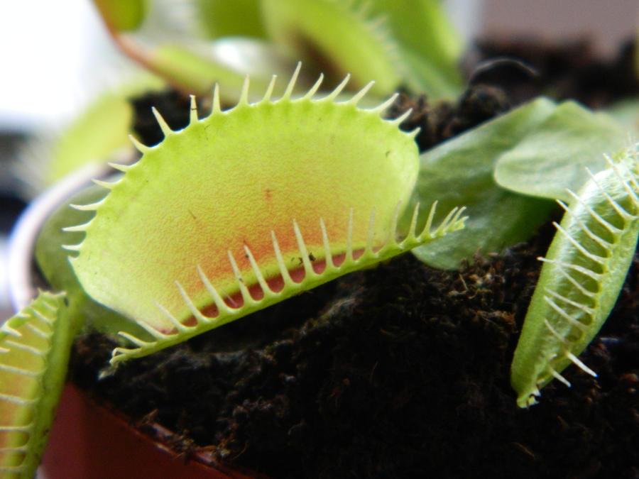 Venus flytrap frog